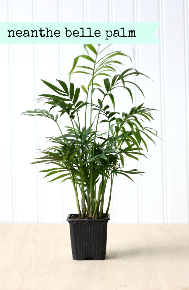 neanthe belle palm