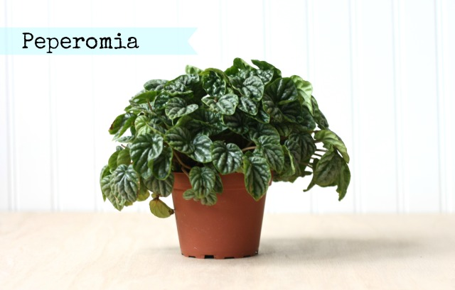 peperomia